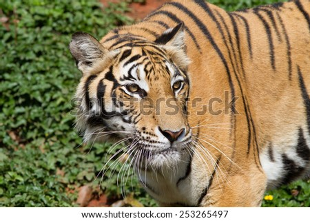 Bengal tiger in thailand