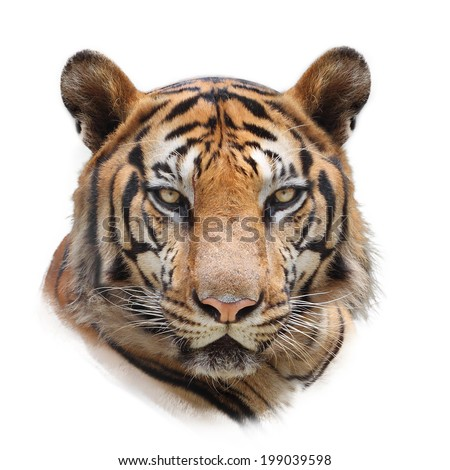 bengal tiger isolated on white - stock photo