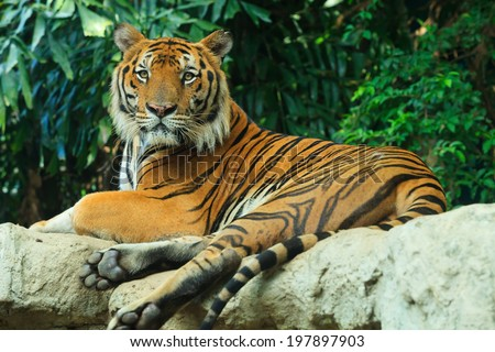 Bengal Tiger lay on rock