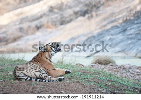 Bengal tiger lying in the grass near the river - national park ranthambhore in india - rajasthan - stock photo