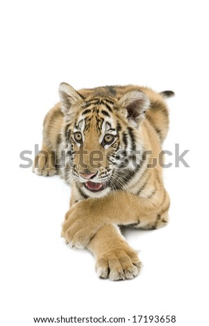 Bengal tiger on an isolated background