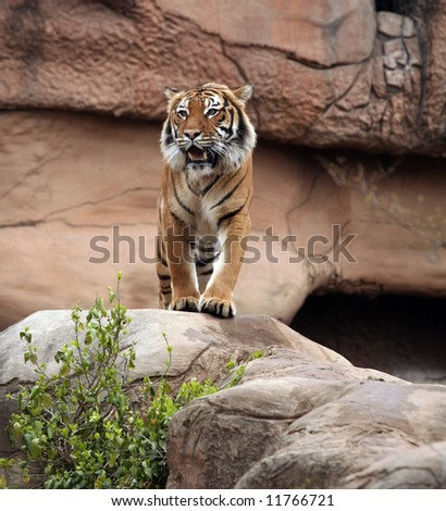 Bengal tiger on rock - stock photo