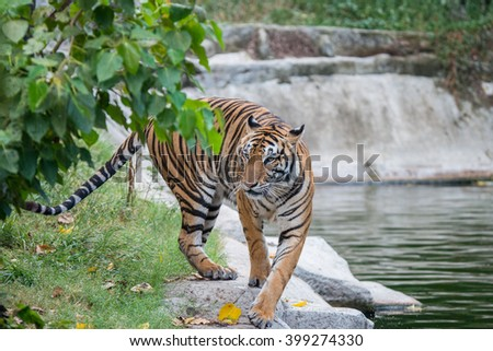 Bengal Tiger or Asian tiger in the zoo, Selective focus