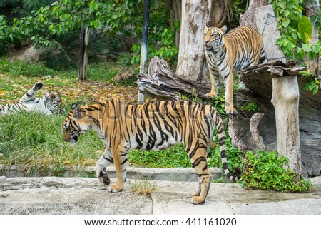 Bengal Tiger or Asian tiger in the zoo, Selective focus - stock photo