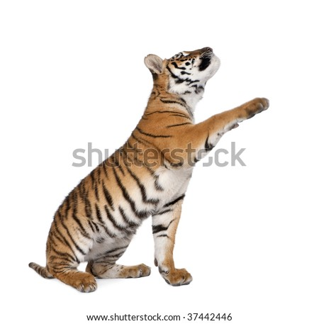 Bengal Tiger, Panthera tigris tigris, 1 year old, reaching in front of white background, studio shot