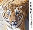 Bengal tiger portrait - stock photo