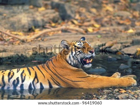 Bengal tiger rest in small pond - stock photo