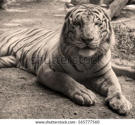 bengal tiger sitting - stock photo