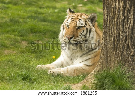 Bengal Tiger Sitting by Tree