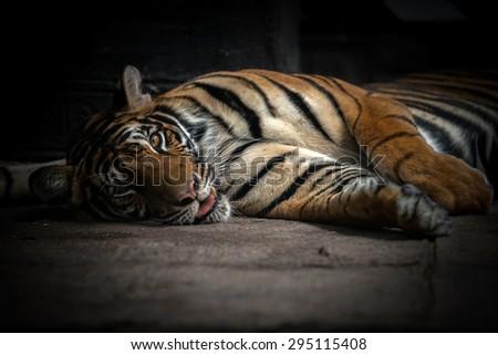 bengal tiger sleeping on floor - stock photo