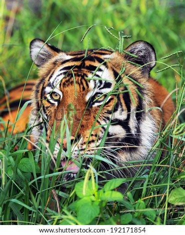 Bengal tiger stalking in green grass. - stock photo