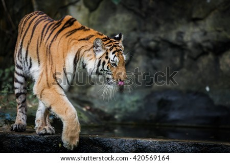 Bengal tiger standing, formidable.
