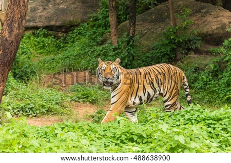 Bengal tiger standing in the forest