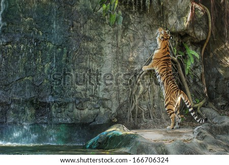 bengal tiger standing on the rock near waterfall - stock photo