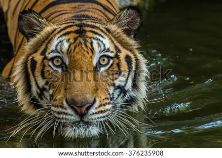 Bengal Tiger swimming show head. - stock photo