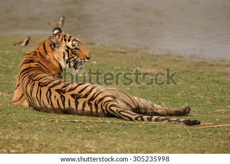 Bengal tiger/Tiger mother/Ranthambhore - stock photo