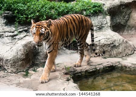 bengal tiger walking - stock photo