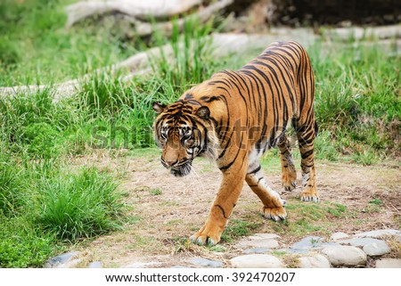 Bengal tiger walking and looking down in front.