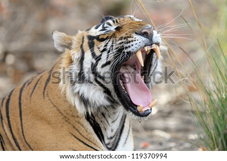 Bengal Tiger yawning. - stock photo