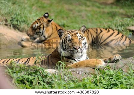 bengal tigers - stock photo