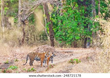 Bengal tigers in Bandhavgarh National Park, India - stock photo