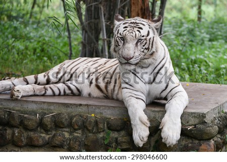 Bengal white Tiger lying down with green eyes staring in a national park in Karnataka India. Adventure safari trip through dense forest path with wild animals. Indian wildlife  - stock photo