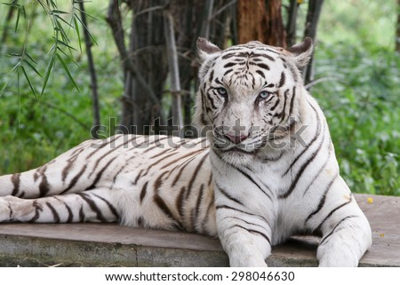 Bengal white Tiger lying down with green eyes staring in a national park in Karnataka India. Adventure safari trip through dense forest path with wild animals. copy space. Indian wildlife animal - stock photo