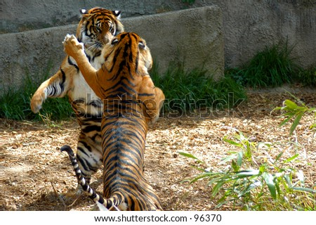 Bengle Tigers - sisters fight