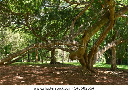 Benjamina Ficus tree with entwined long branches  - stock photo
