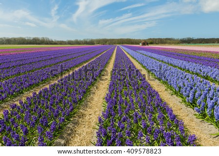 Bennebroek,The Netherlands - April 17, 2015: Hyacinth fields with different colors and blue sky, The Netherlands.