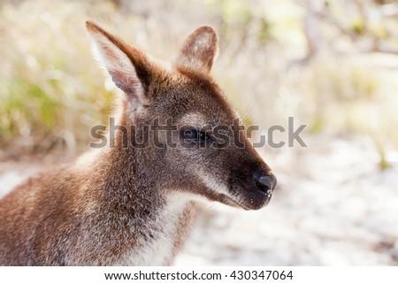 Bennetts Wallaby, Freycinet National Park, Tasmania, Australia - stock photo