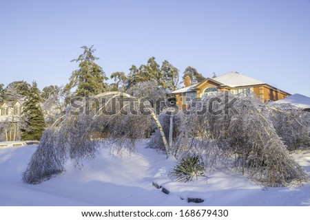 Bent birch tree after the ice storm - stock photo
