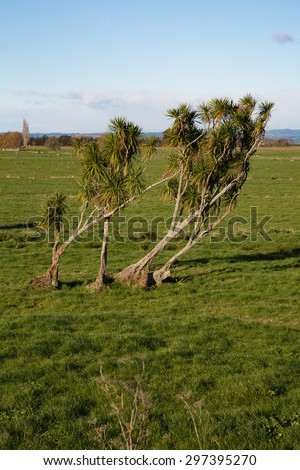 Bent cabbage trees in the late afternoon sun in the Bay of Plenty, New Zealand. A lovely photo to depict standing strong ideas no matter how hard the storms. Great for various ideas and concepts. - stock photo