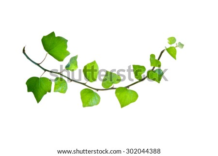 Bent green twig of ivy isolated on white  - stock photo