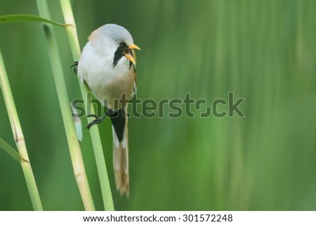 beraded tit, male -  (panurus biarmicus) - stock photo