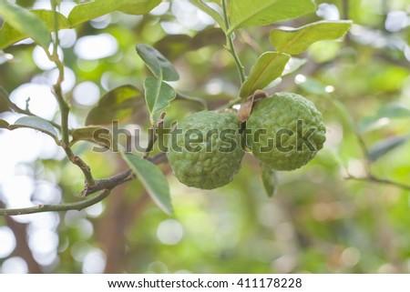Bergamot on Tree in gaden, bergamot (Kaffir Lime) fruits - stock photo