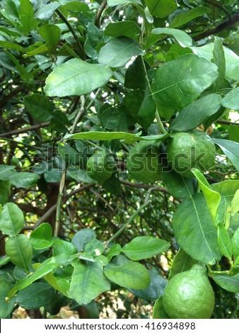 Bergamot on Tree in  green garden - stock photo