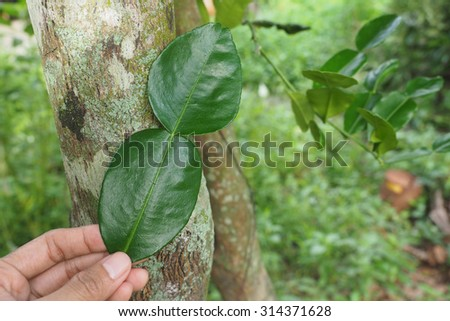 Bergamot or Kaffir Lime Leave with its tree on the background - stock photo