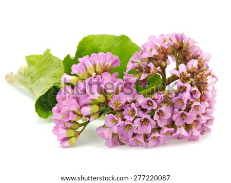 Bergenia flowers on a white background