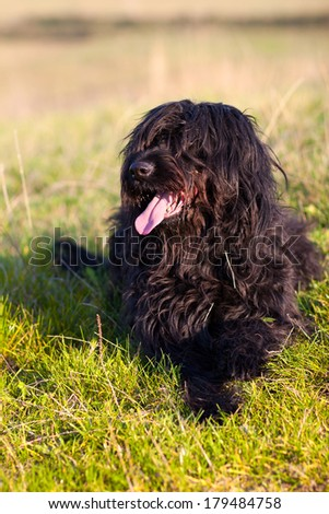 Berger de Brie - black Briard in the meadow
