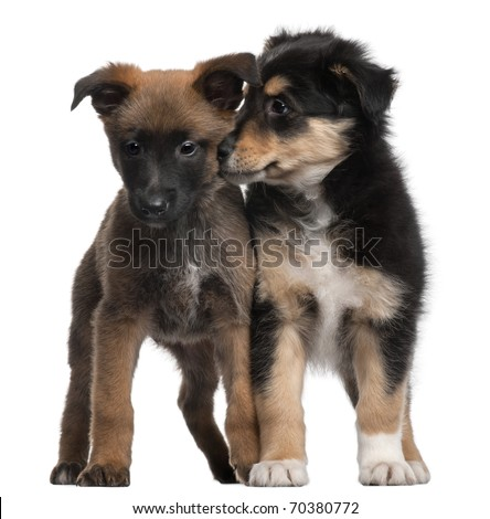 Berger Malinois and Mixed-breed puppy, 7 weeks old, standing in front of white background