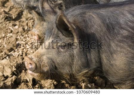 stock-photo-berkshire-black-pigs-an-old-
