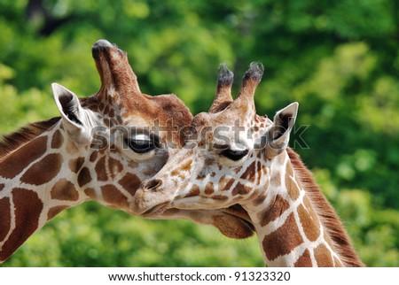 Ungulate Zoo Live Animals St...