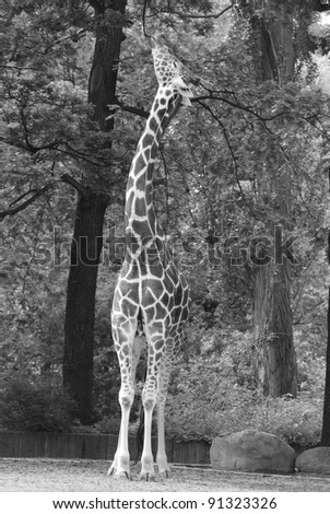 Berlin zoo the giraffe (Giraffa camelopardalis) is an African even-toed ungulate mammal, the tallest of all extant land-living animal species, and the largest ruminant. - stock photo