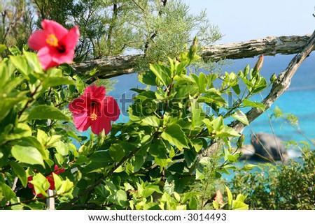 Bermuda Flower - stock photo