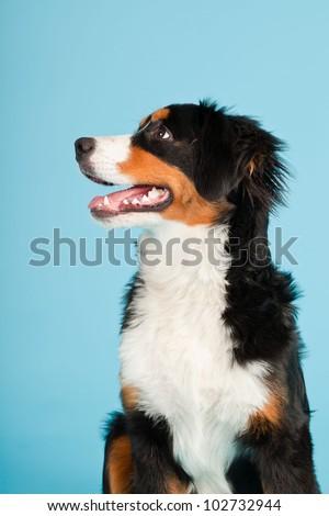 Berner sennen dog isolated on light blue background. Studio shot. Puppy. - stock photo