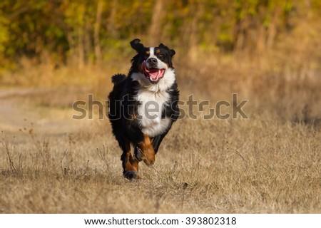 Bernese dog run in autumn park - stock photo
