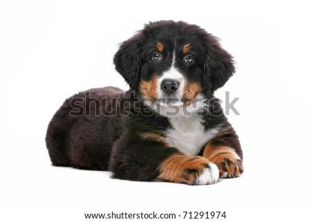 Bernese Mountain (Berner Sennenhund) puppy lying, isolated on a white background - stock photo