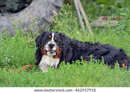Bernese Mountain Dog,