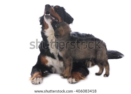Bernese mountain dog and mixed breed puppy isolated - stock photo